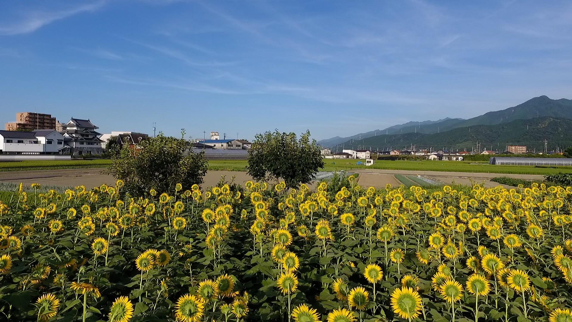 加茂川沿いの野菜畑のひまわり